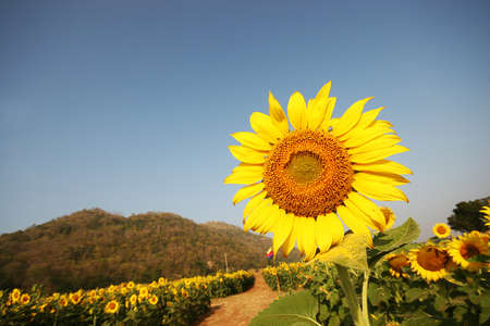 sunflower near the mountain