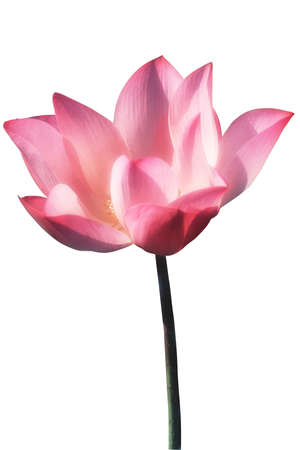 lotus on the white background