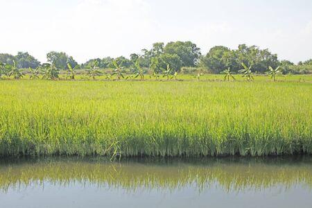the harvest season in thailand