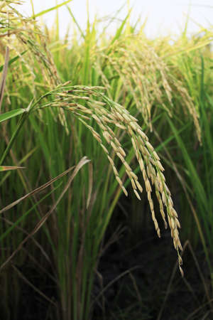 the harvest season, rice of thailand
