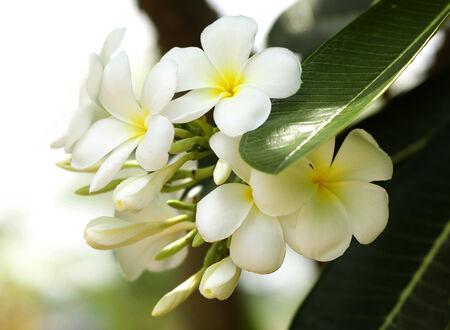 The leelavadee flower of thailand