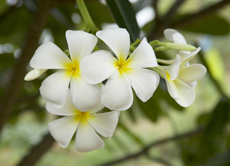 The leelavadee flower of thailand photo