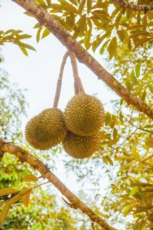 Durian, king of the tropical fruit Stock Photo