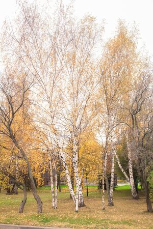 Birch trees in autumn leaves