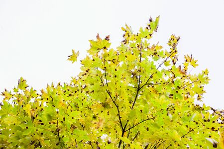 Maple leaves in colorful autumn