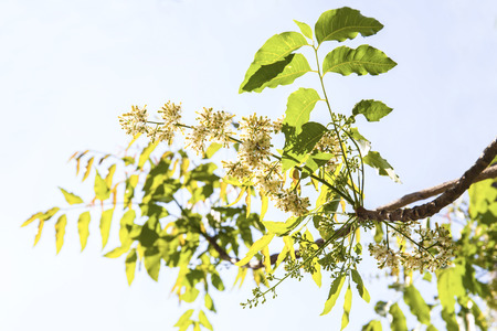 neem: Neem tree showing compound leaves and bunches of small flowers. Stock Photo