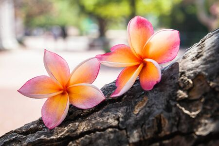 Plumeria rubra flower on tree