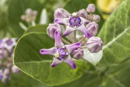 Calotropis gigantea blooming on tree  Stock Photo