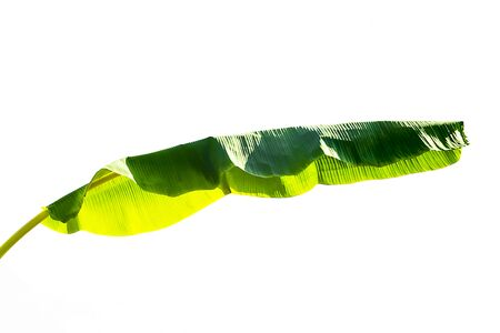 Banana green leaves on white background