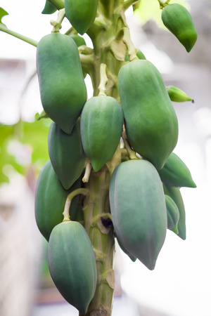 Raw papaya on the tree