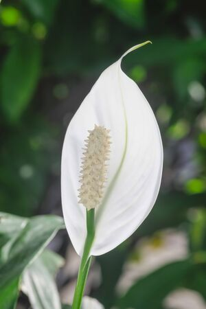 White anthurium flower in pots