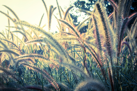 Flowering grass,vintage nature background  photo
