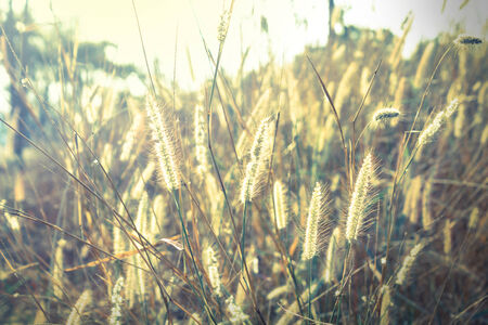 Flowering grass in sunrise,vintage style light  photo