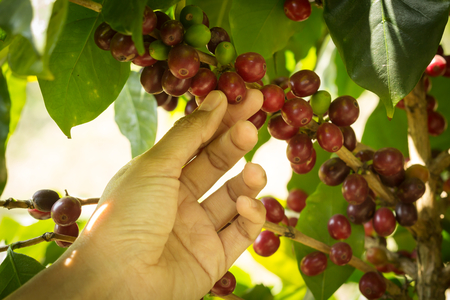 Coffee fruit with human hand,agriculture background