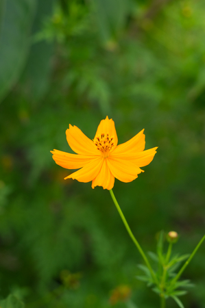 Yellow cosmos in park,nature background. Stock Photo