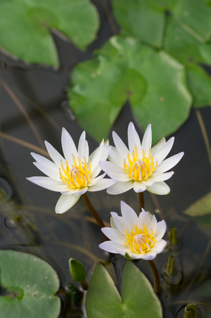 Nature White lotus on water surface.