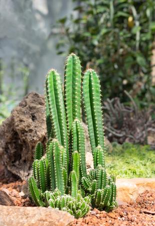 Tall desert cactus on red rock floor. Stock Photo