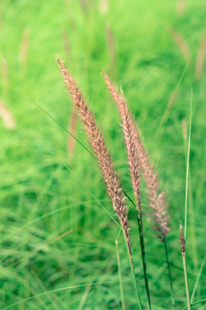 Flowering grass in park,vintage color filtered. Stock Photo