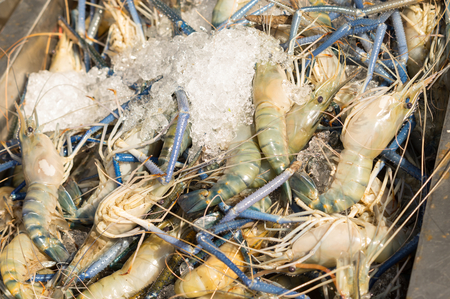 Fresh big shrimps with cold ice in market. Stock Photo