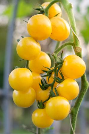 Yellow tomato bunch in farm.