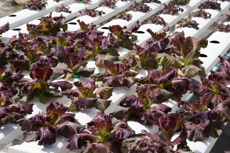 Red lettuce in vegetable hydroponic farm.