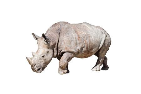 Rhinoceros on white background,animal or wildlife concept.