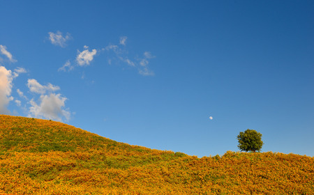 tree marigold: Tree marigold, Mexican tournesol, Mexican sunflower, Thailand sunflower on the hill Stock Photo