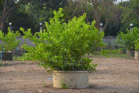 limetree: Lime-tree in the pond. Limestone garden lemon juice in Thailand.