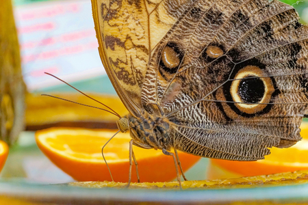 referred: As banana butterfly the butterflies of the genus Caligo from the family of Nymphalidae (Nymphalidae) are referred by to. The genus includes 21 species, Which are among the largest in the Neotropics. The caterpillars feed on bananas, arrowroot plants and h