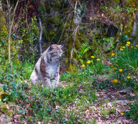 vigilant: A lynx is watching near dandelions in springtime