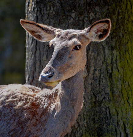hint: Portrait of a doe standing in front of a tree