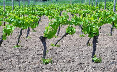 winegrowing: Vines in springtime Rhine-Hesse in Germany Stock Photo