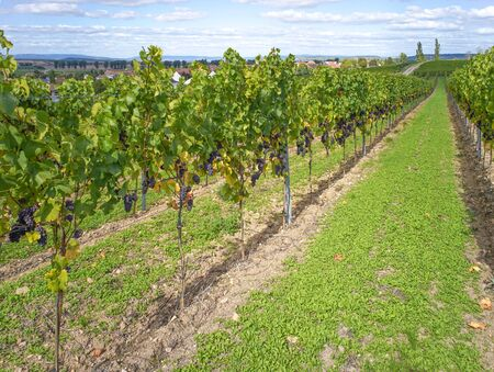 winegrowing: Red grapes just before harvesting in Rhine-Hesse, Germany