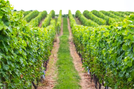 partially: Vineyard as partially blurred background. Stock Photo
