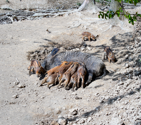 sucks: Wild boar sucks their young offspring, piglets, sow