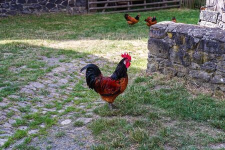 A colorful rooster is standing on the farm