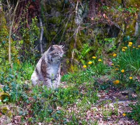 A lynx is watching near dandelions in spring time