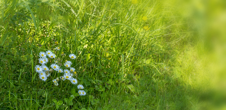 Daisies on the meadow in spring. Background. Banner. Stock Photo - 102654865