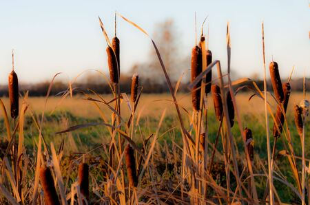 depth of field: Cattail shot low depth of field in nature