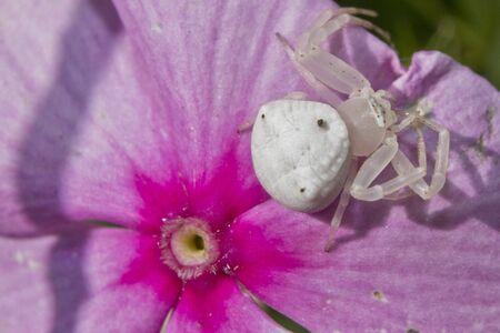 flower crab spider: Crab Spider