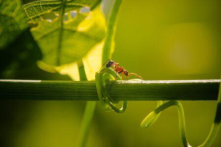 ant walking on a vine