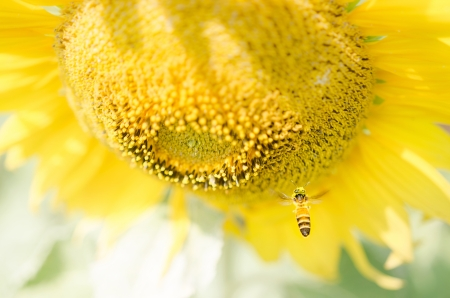 Sunflower bee photo