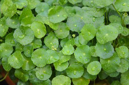 Water drop on Water Pennywort