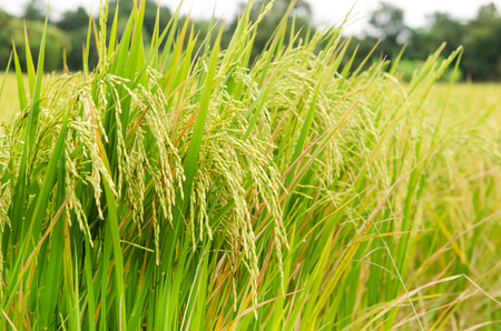 rice harvest: Paddy rice harvest with soft focus