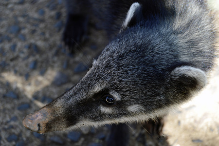 Argentina brazil iguazu mammal coati