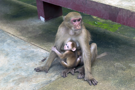 mama monkey and her little monkey cave temple in chiang rai north of thailand