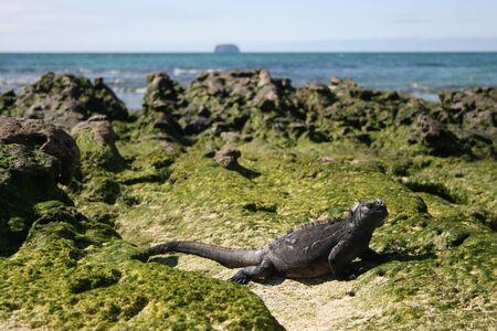 Gecko on a beach of the Galapagos Islands, Ecuador, in the Pacific Ocean Stock Photo