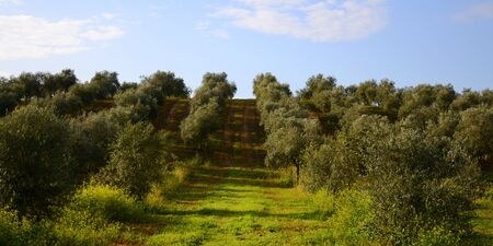 Road through a field of olive trees