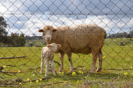 Mother and baby sheep standing behind a wire-netting fence on a field in the open country Stock Photo