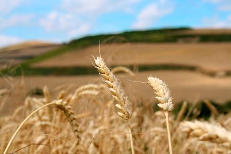 Yellow grain ready for harvest growing in a farm field in Spain Stock Photo - 21170054